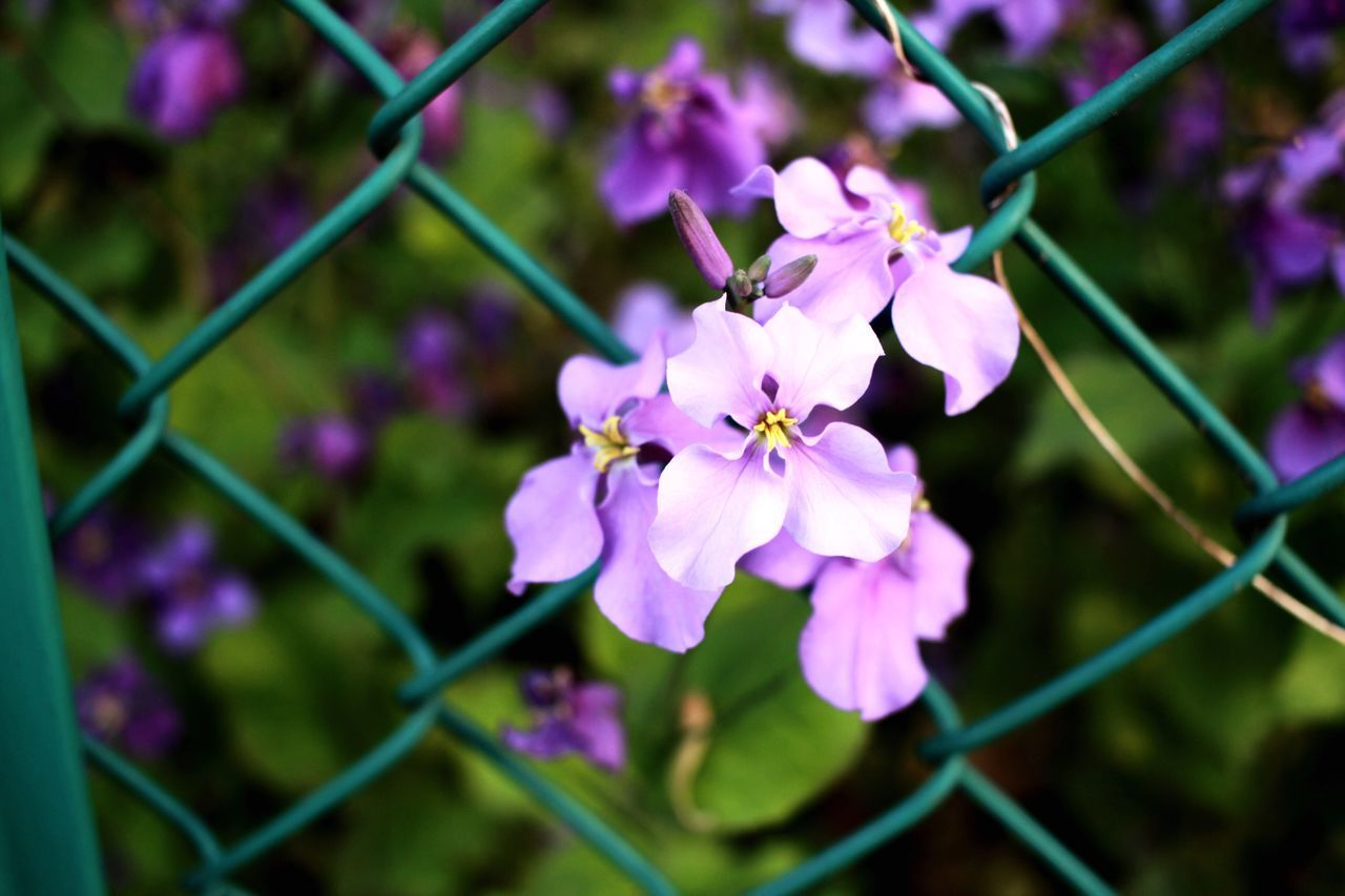 flower, fragility, growth, beauty in nature, petal, nature, chainlink fence, freshness, purple, day, outdoors, flower head, no people, plant, focus on foreground, close-up, springtime, blooming, branch, tree