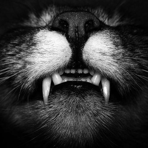 Susis schöne Zähne!!! Catsofworld Catsmosh Black And White Bildbearbeitung Makro Diesezähne Wildlife Makro Photography Cats 🐱 My Cats Katzenfoto Tierisch Schön EyeEm Animal Lover Makrografie Experimental Photography Meine Katzen Nature Photography