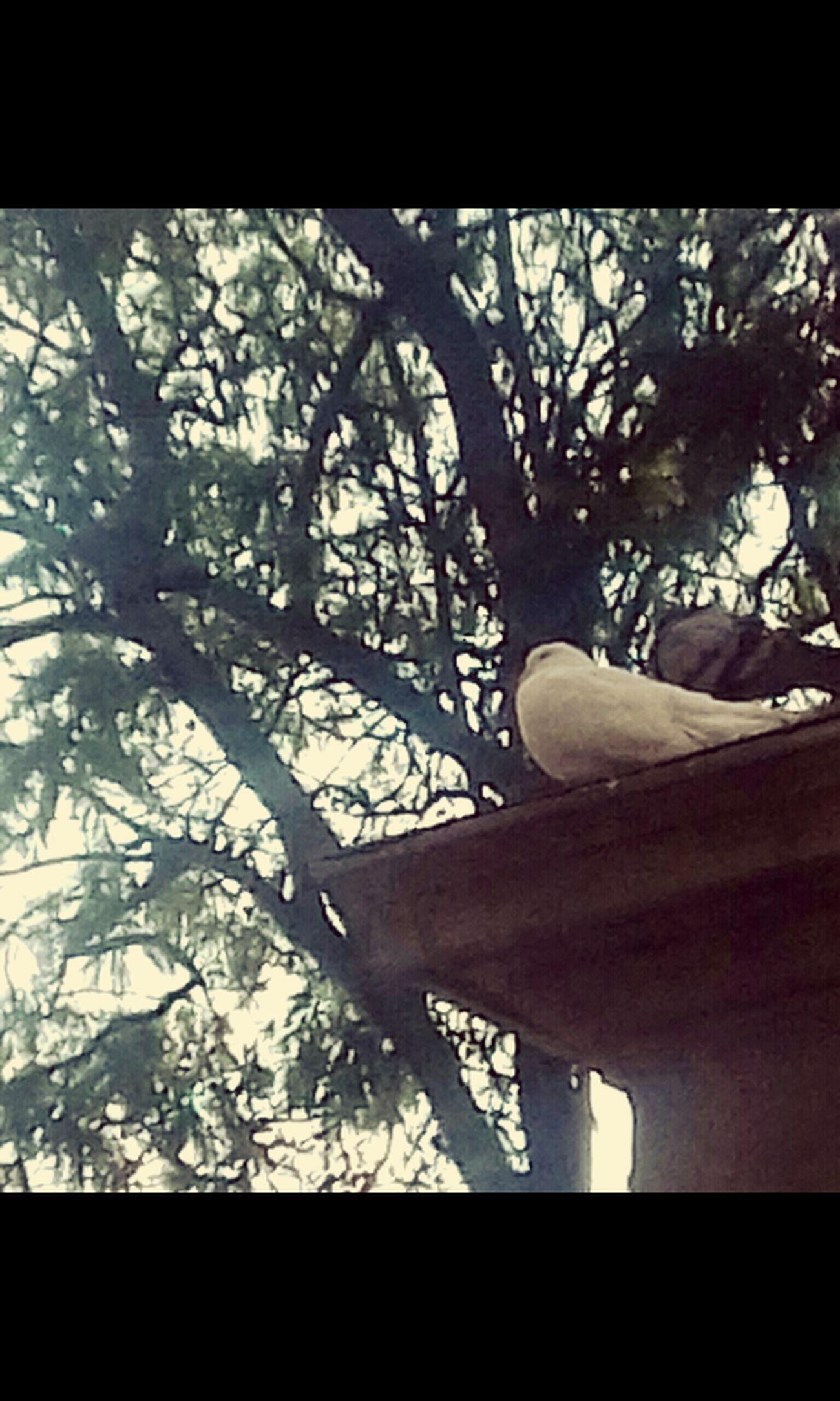 Main Square Doves Close-up Tree Cochabamba - Bolivia