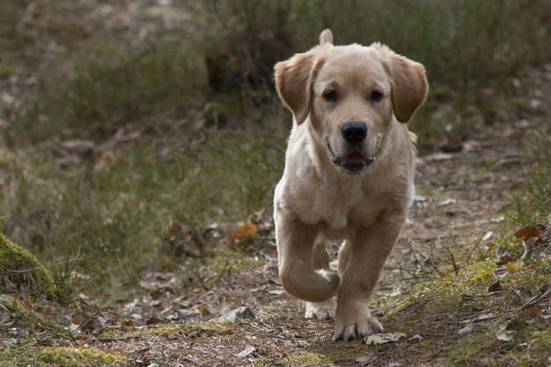Animal Themes Dog Domestic Animals Field Focus On Foreground Forest Full Length Golden Retriever Goldenretriever Mammal Nature No People One Animal Outdoors Pets Pup Puppy Retriever Sitting Standing Wildlife