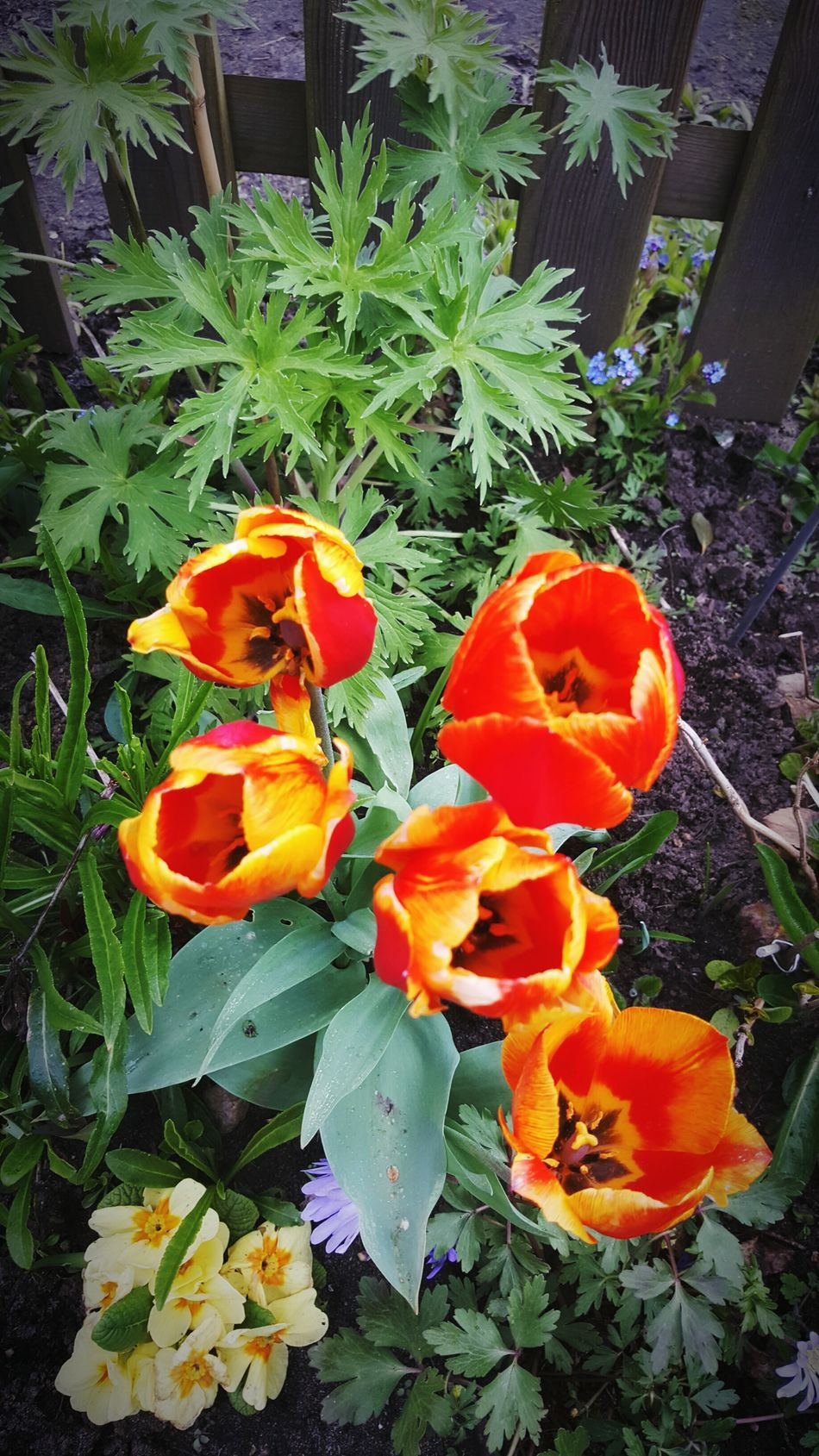 Tulpenblüte Nature Growth Flower Colors Plant Beauty In Nature WOW Flower Head Outdoors Orange Color