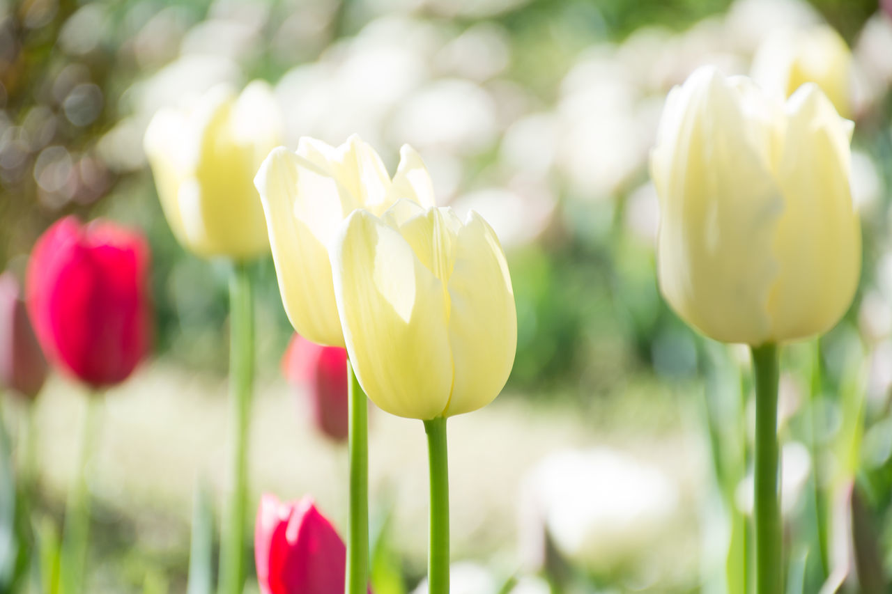 flower, growth, beauty in nature, nature, petal, freshness, fragility, focus on foreground, plant, day, no people, flower head, outdoors, close-up, field, tulip, yellow, blooming, snowdrop, crocus