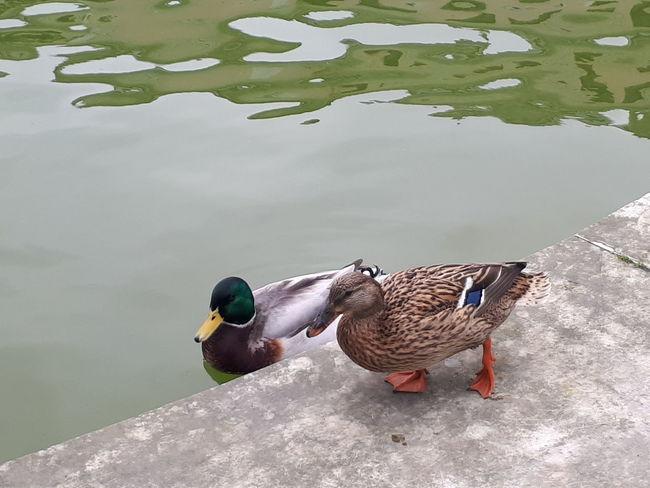 Water Bird Duck Animals In The Wild Animal Wildlife Lake High Angle View