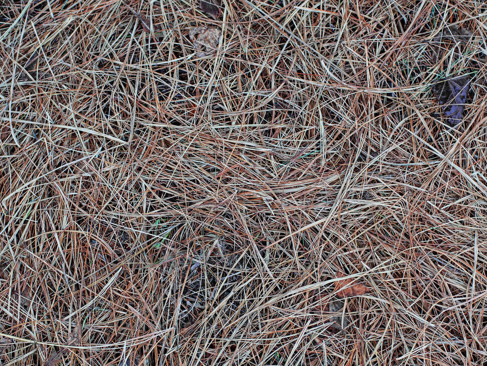 Aghi di pino Autumn Autumn Colors Backgrounds Brown Close-up Dry Full Frame Growth Hay Haystack Nature No People Outdoors Pine Needles Straw Tannennadeln Textured  Undergrowth