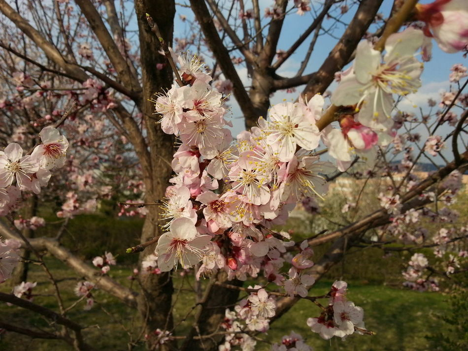 Beauty In Nature Blossom Branch Cherry Blossom Close-up Day Flower Flower Head Fragility Freshness Growth Nature No People Outdoors Petal Pink Color Plum Blossom Rhododendron Springtime Tree