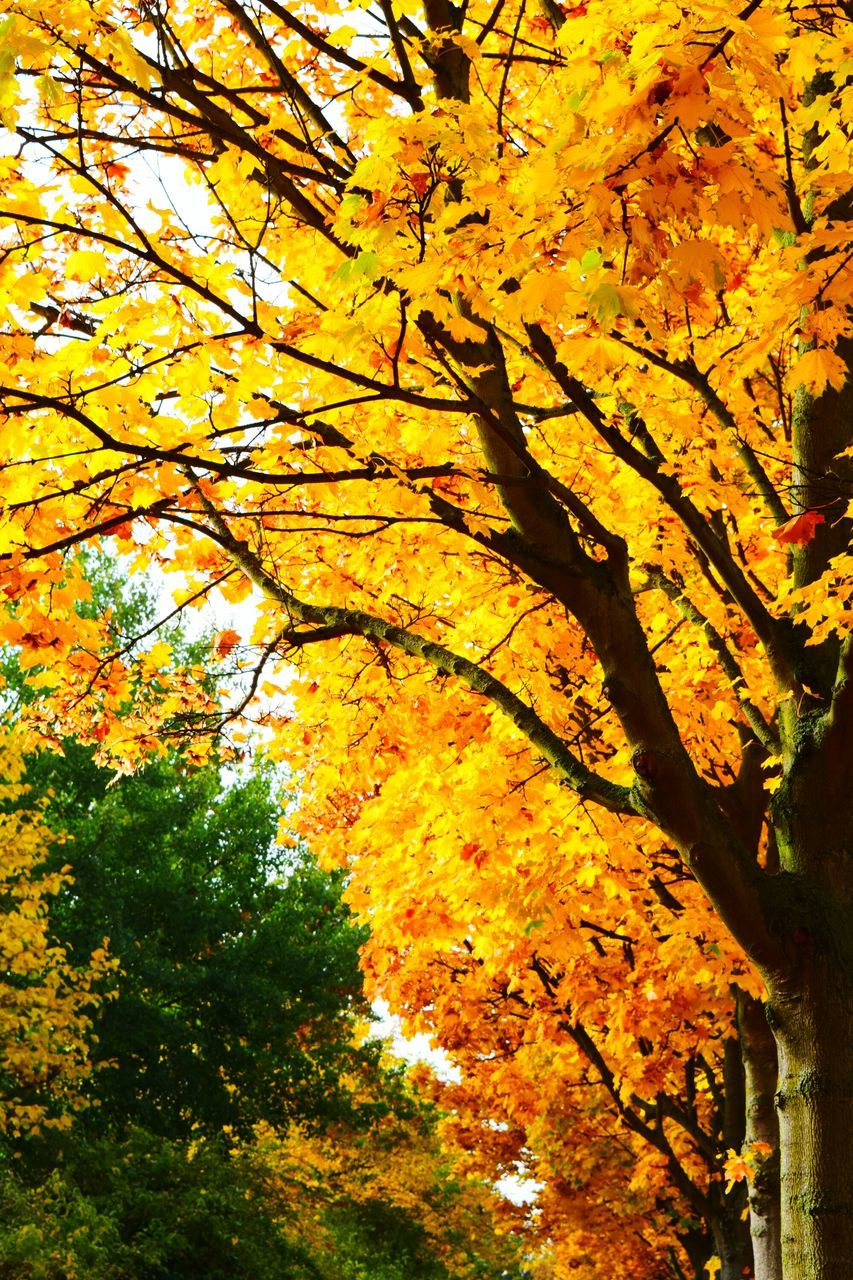 autumn, tree, change, growth, nature, beauty in nature, leaf, branch, tranquility, no people, low angle view, yellow, maple tree, scenics, day, outdoors, maple leaf, maple