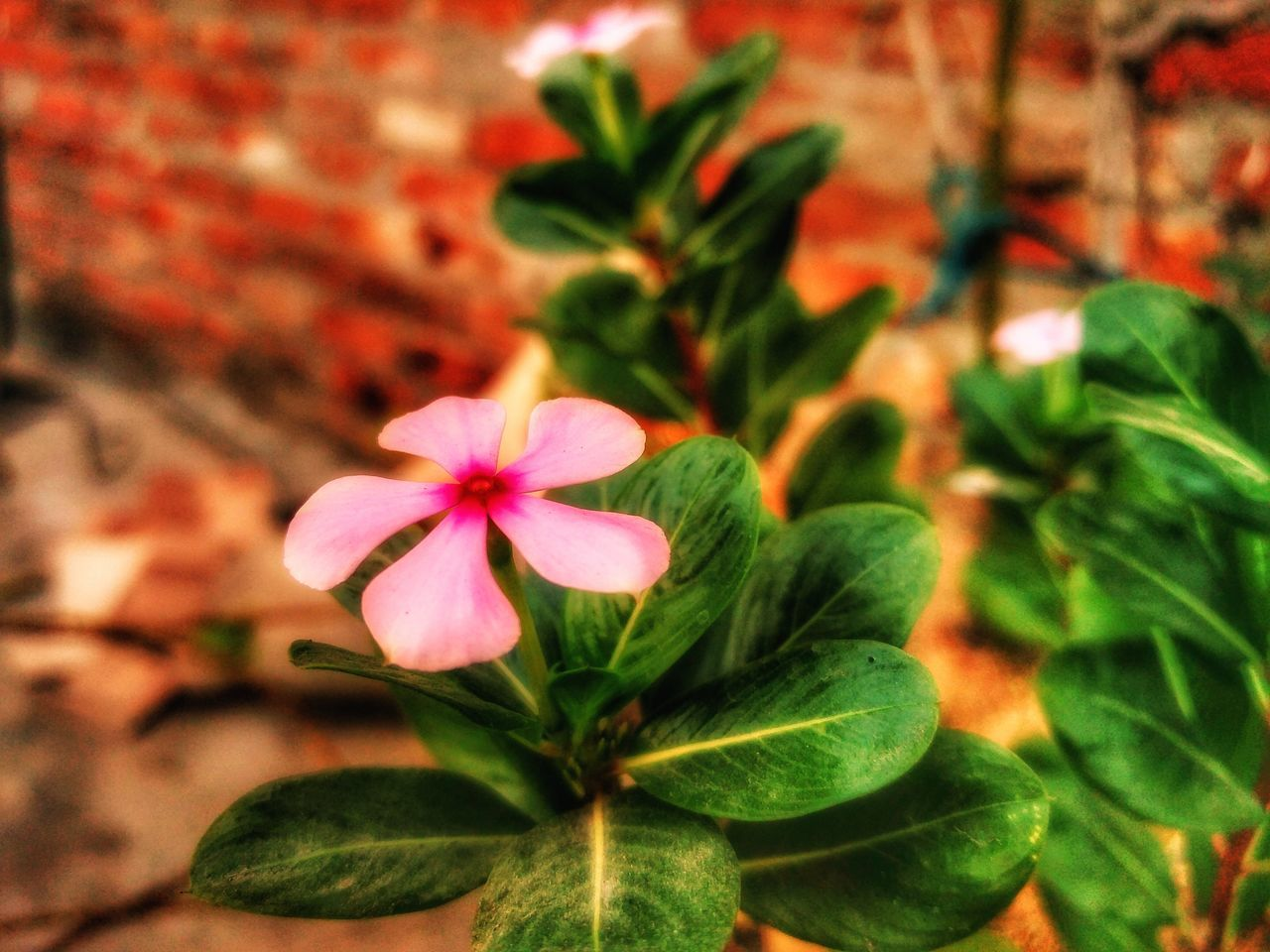 flower, growth, petal, flower head, leaf, freshness, blooming, pink color, plant, fragility, green color, periwinkle, beauty in nature, nature, focus on foreground, no people, close-up, day, outdoors