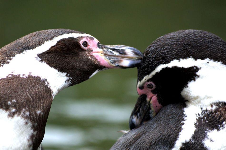 Beautiful stock photos of pinguin, Animal Themes, Animal Wildlife, Animals In The Wild, Bird