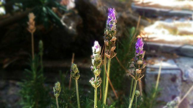 Lavander 💜 Flowers Lavander Flower Fine Art Nature Beauty In Nature Details Focus Blur Purple Green Lavanda Sfocatura Plants Sicilia Country Taking Photos