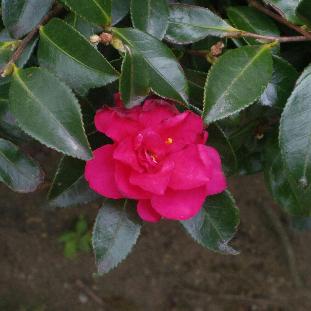 冬の名残りのサザンカでしょうか。 花 Pentax Q10 Flower Camellia