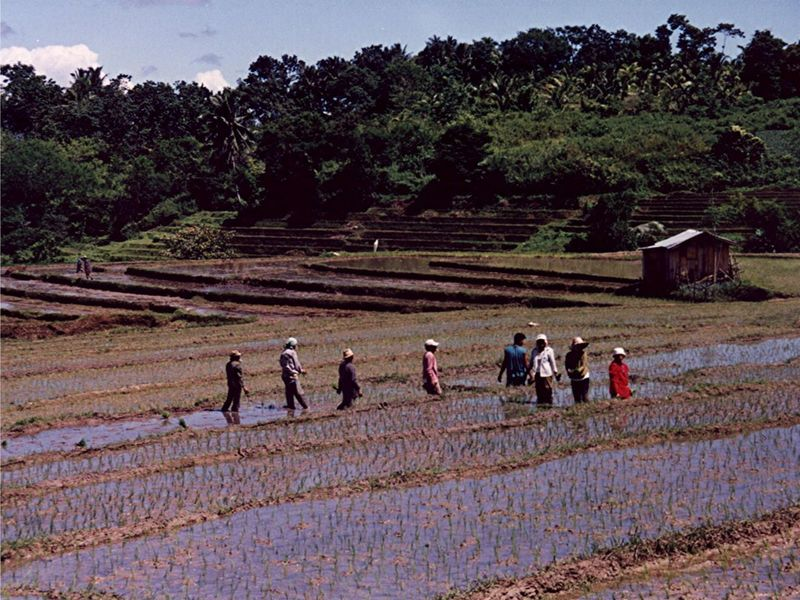 Rice Field Philippines Ricefields Rice Terraces ASIA Bohol Bohol Philippines