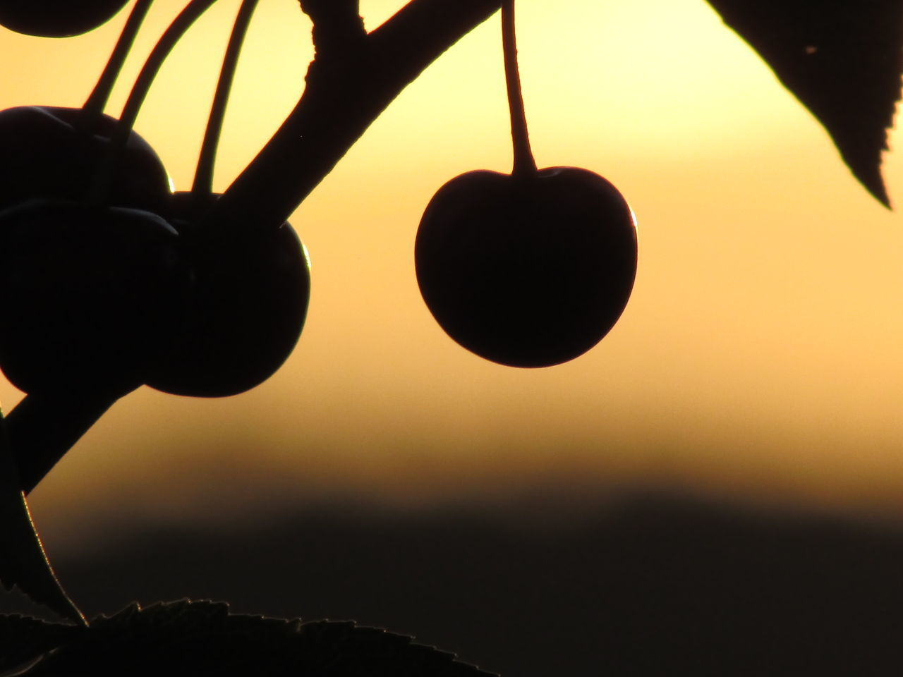 Beautiful stock photos of cherry, Agriculture, Back Lit, Branch, Cherry