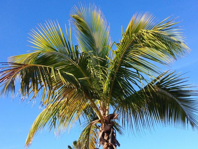 Prayers for everyone in the path of Hurricane Matthew Florida Georgia South Carolina Palm Tree Low Angle View Growth Tree Blue Clear Sky Nature Beauty In Nature Green Color Tranquility Sky Day Outdoors Palm Frond Tranquil Scene Scenics