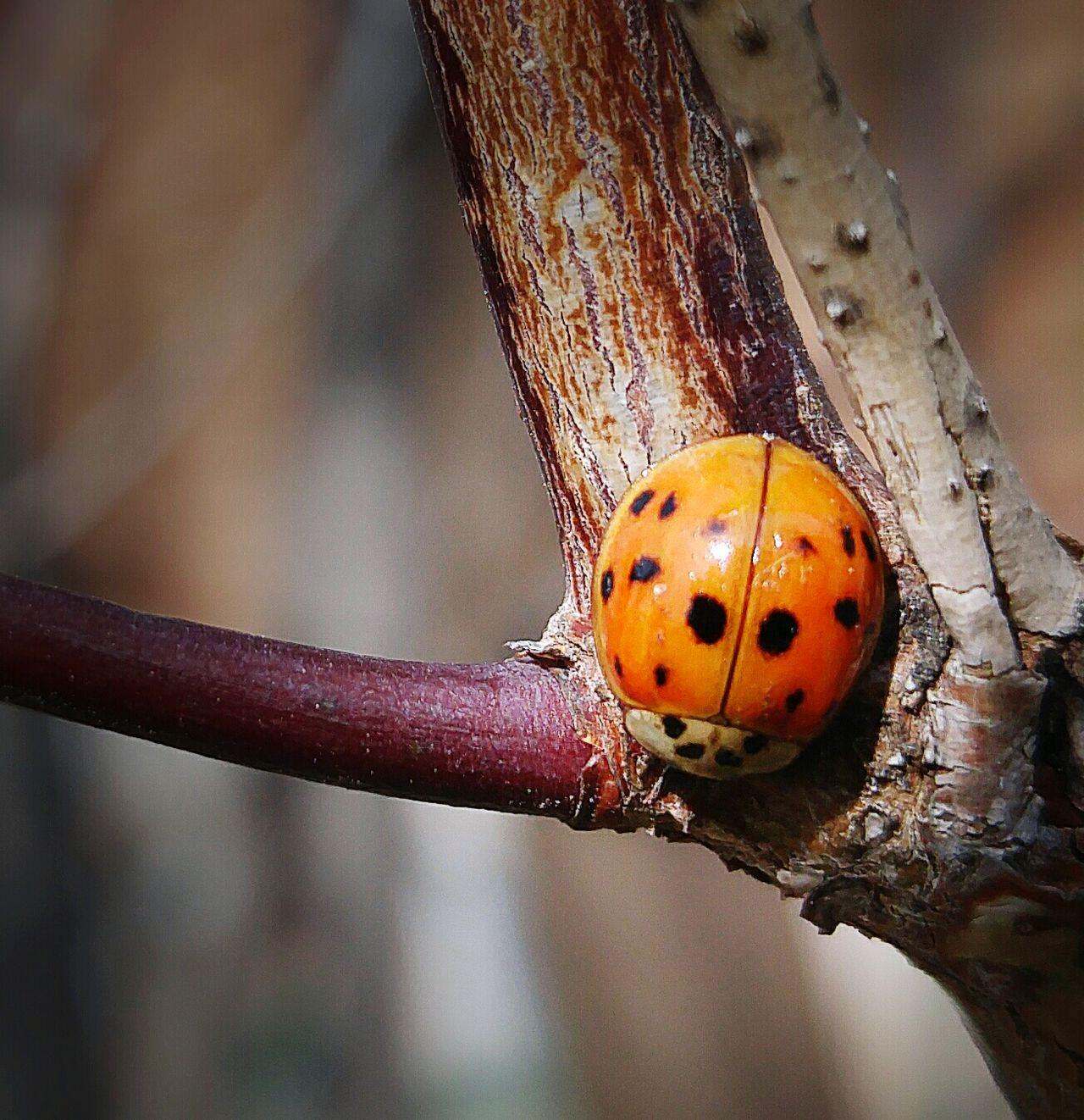 Spring Ladybug Ladybugs Photography Ladybugmacro Macro Macro Nature Insect Photography Treebranch
