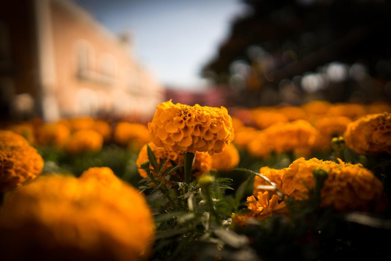 Color Dia De Mu DIA DE MUERTOS Dıa De Muertos Flower Green Color Nature Orange Color
