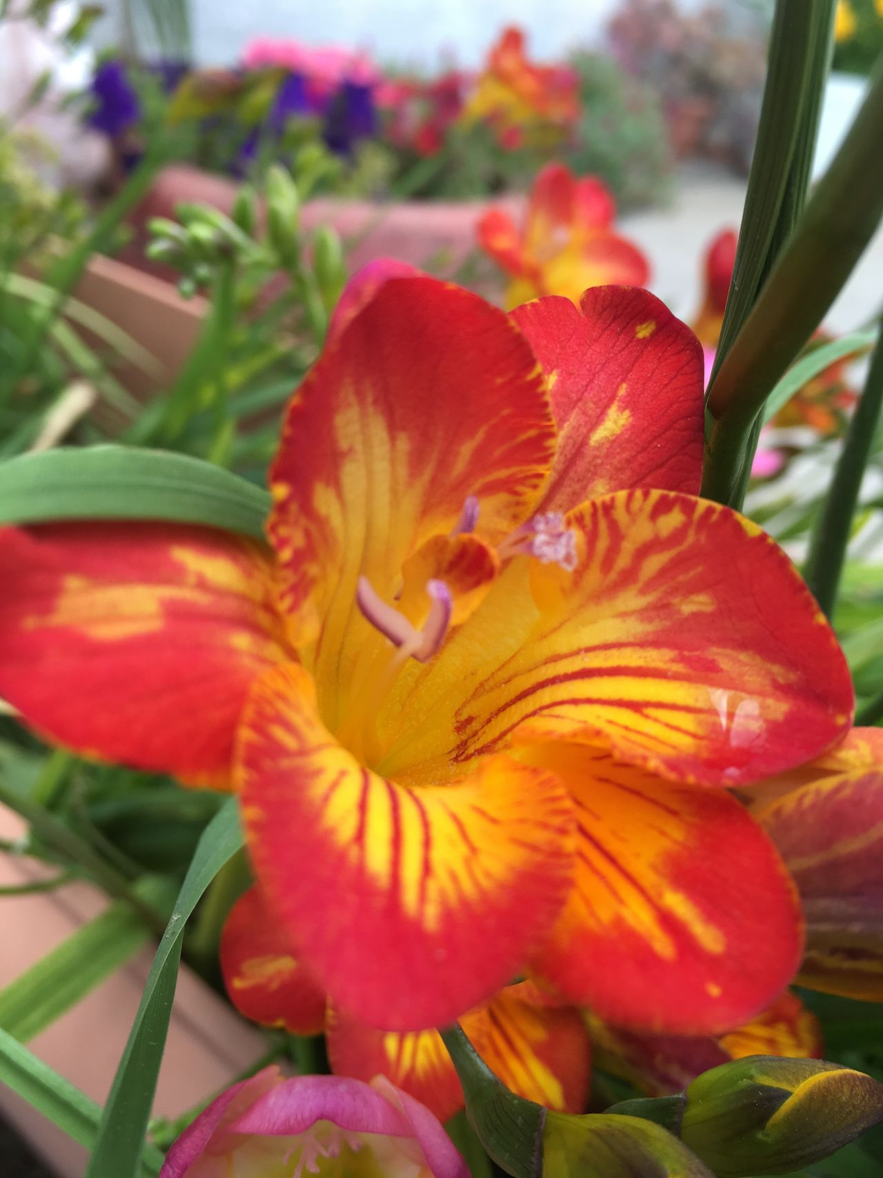 Flower Petal Fragility Beauty In Nature Freshness Nature Flower Head Growth Plant Blooming Close-up No People Day Outdoors Day Lily