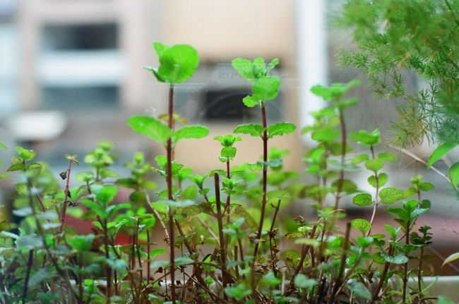 Showing Imperfection 菲林 Olympus Om10 Film Photography フィルム Film Is Not Dead Nature Miniature Green Film Growth Film Camera Plants Mint Green Mint Leaves Mint Reflection Earth Day Plant Life Nature's Diversities