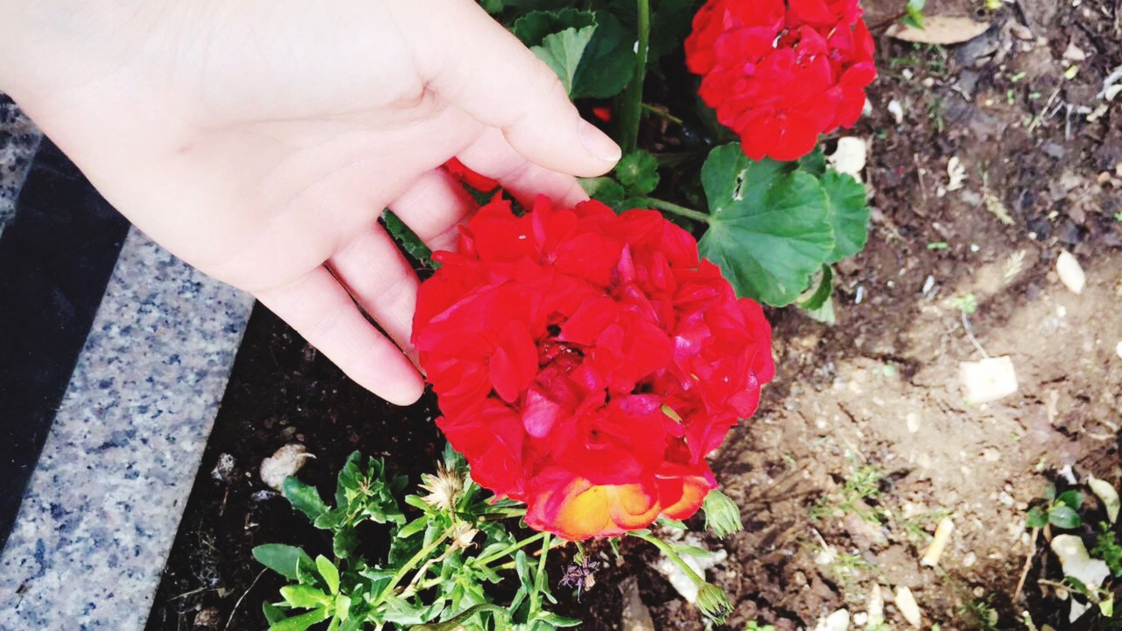 Architecture Human Hand Human Body Part High Angle View One Person Leaf Holding Real People Flower Freshness Outdoors Nature Plant Red Petal Lifestyles Growth Day Fragility Close-up Beauty In Nature Nature