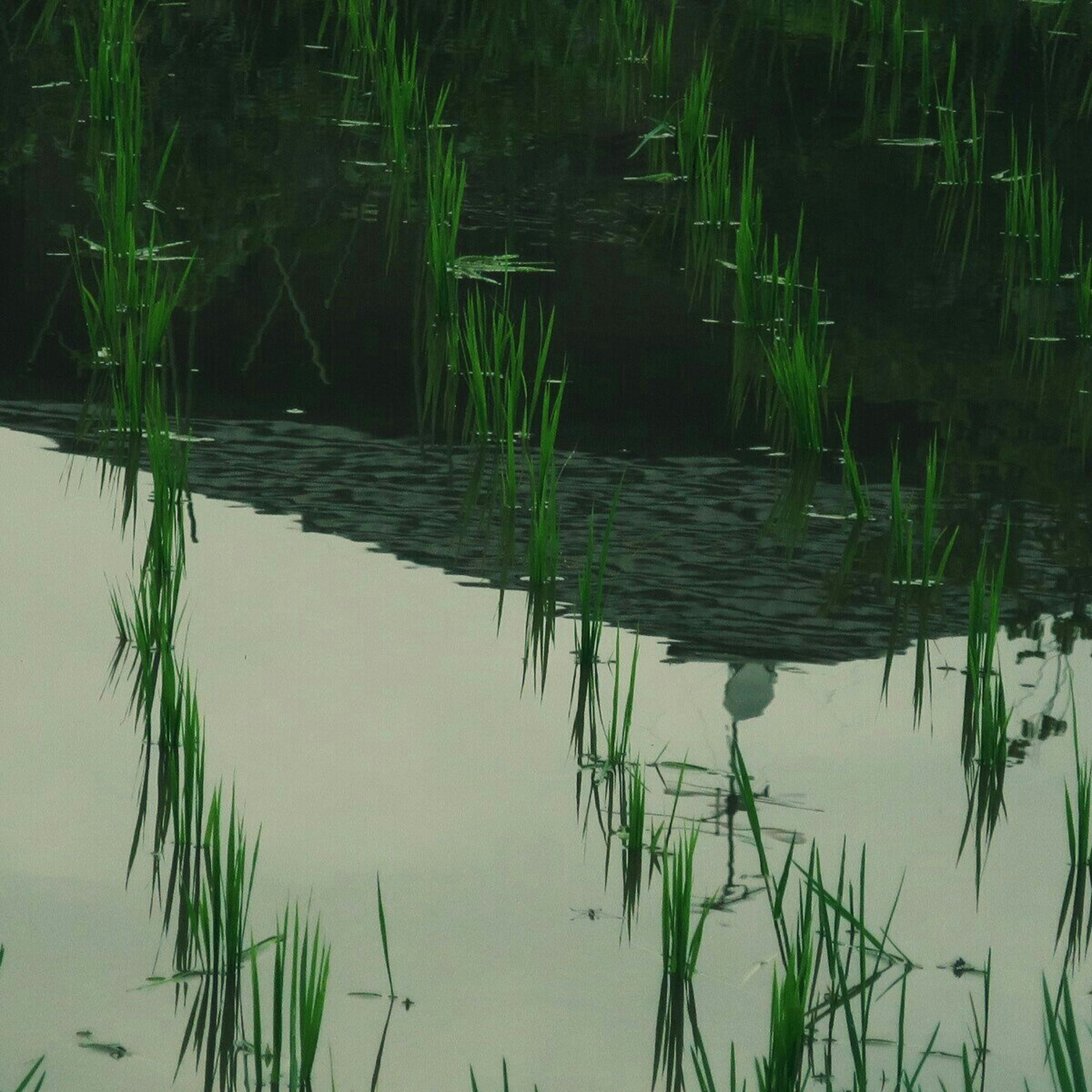 water, reflection, lake, plant, tranquility, nature, growth, grass, standing water, beauty in nature, waterfront, tranquil scene, outdoors, pond, no people, leaf, day, scenics, green color, idyllic