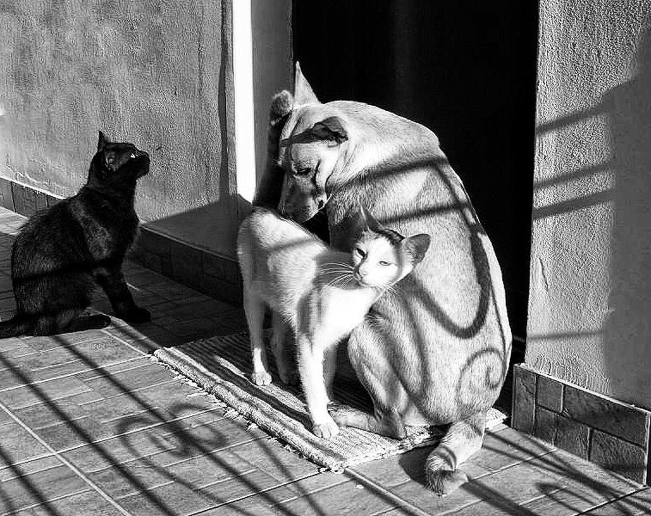 Pets Domestic Cat No People Blackandwhite Blackandwhitelovers Blackandwhitephotography Animal Themes Animals Big Love Cat&dog
