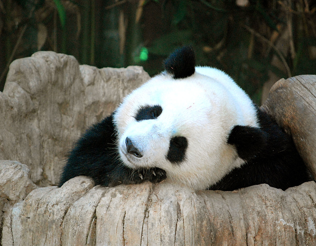 Pandashots Panda Sandiegozoo Cute Photooftheday