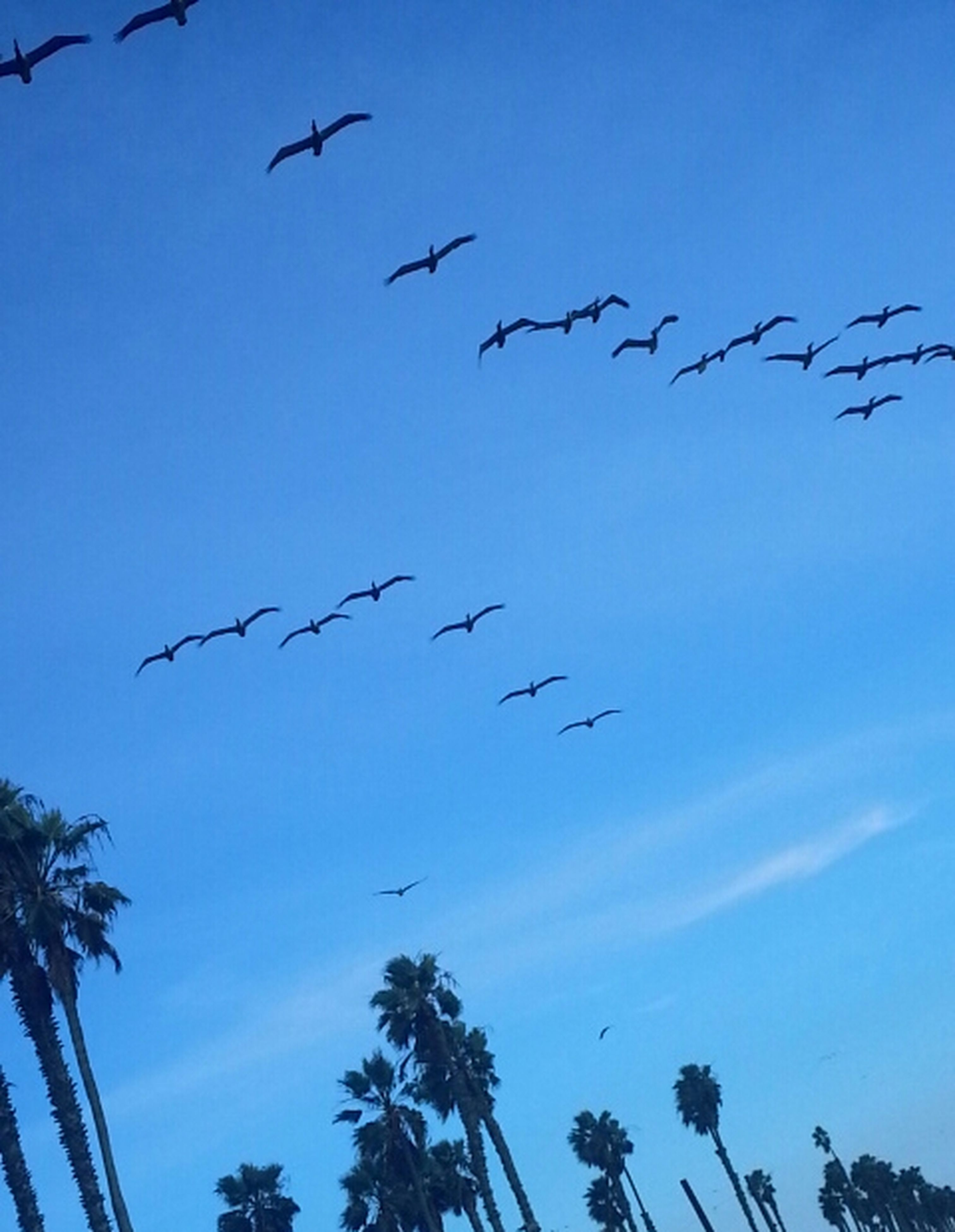 bird, flying, low angle view, animal themes, animals in the wild, wildlife, flock of birds, clear sky, blue, silhouette, mid-air, sky, spread wings, tree, nature, outdoors, day, beauty in nature, no people