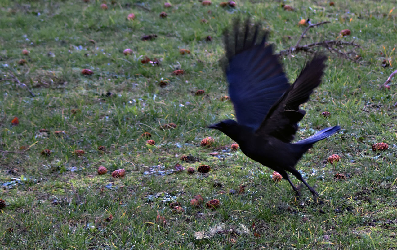Blurred Motion On Crow Flying At Grassy Field