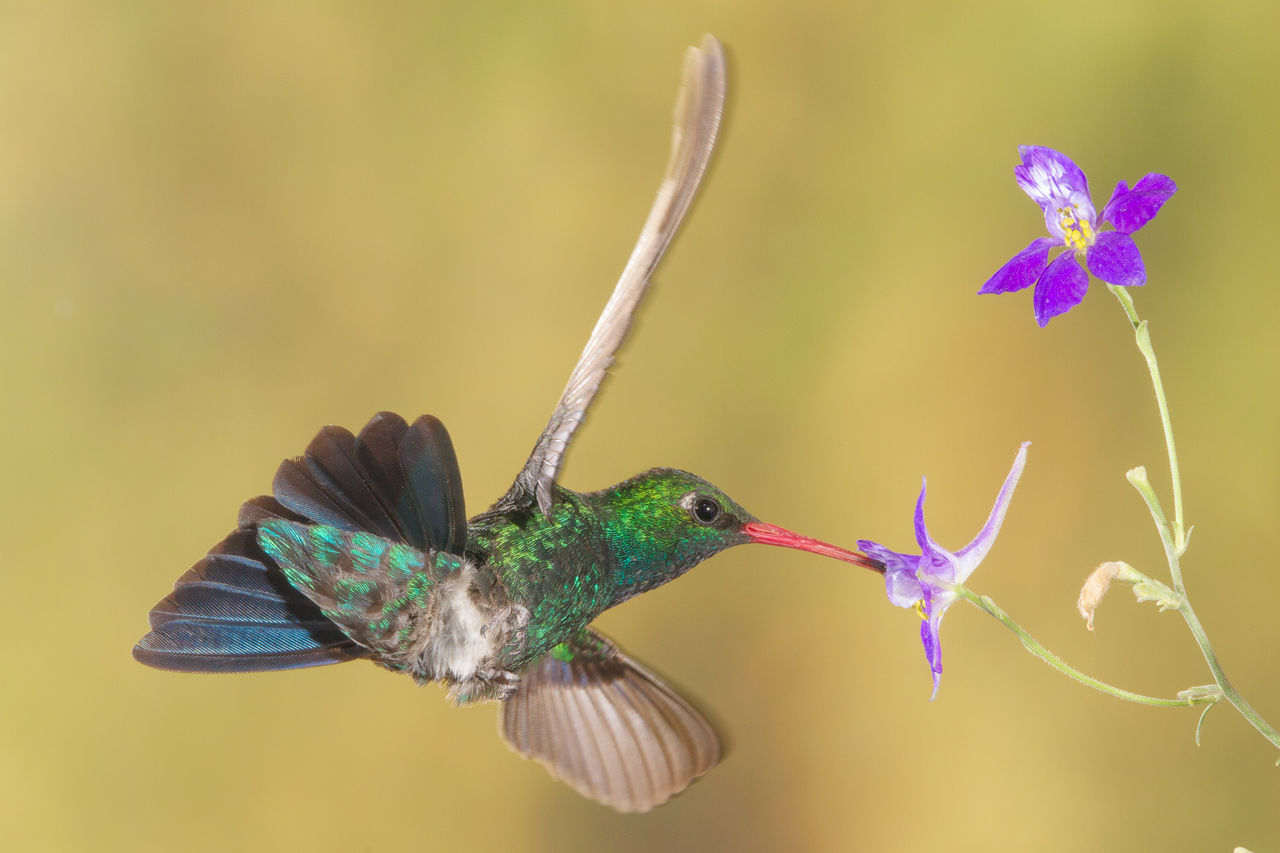 Beautiful stock photos of kolibri,  Animal Themes,  Animal Wing,  Animals In The Wild,  Beauty In Nature