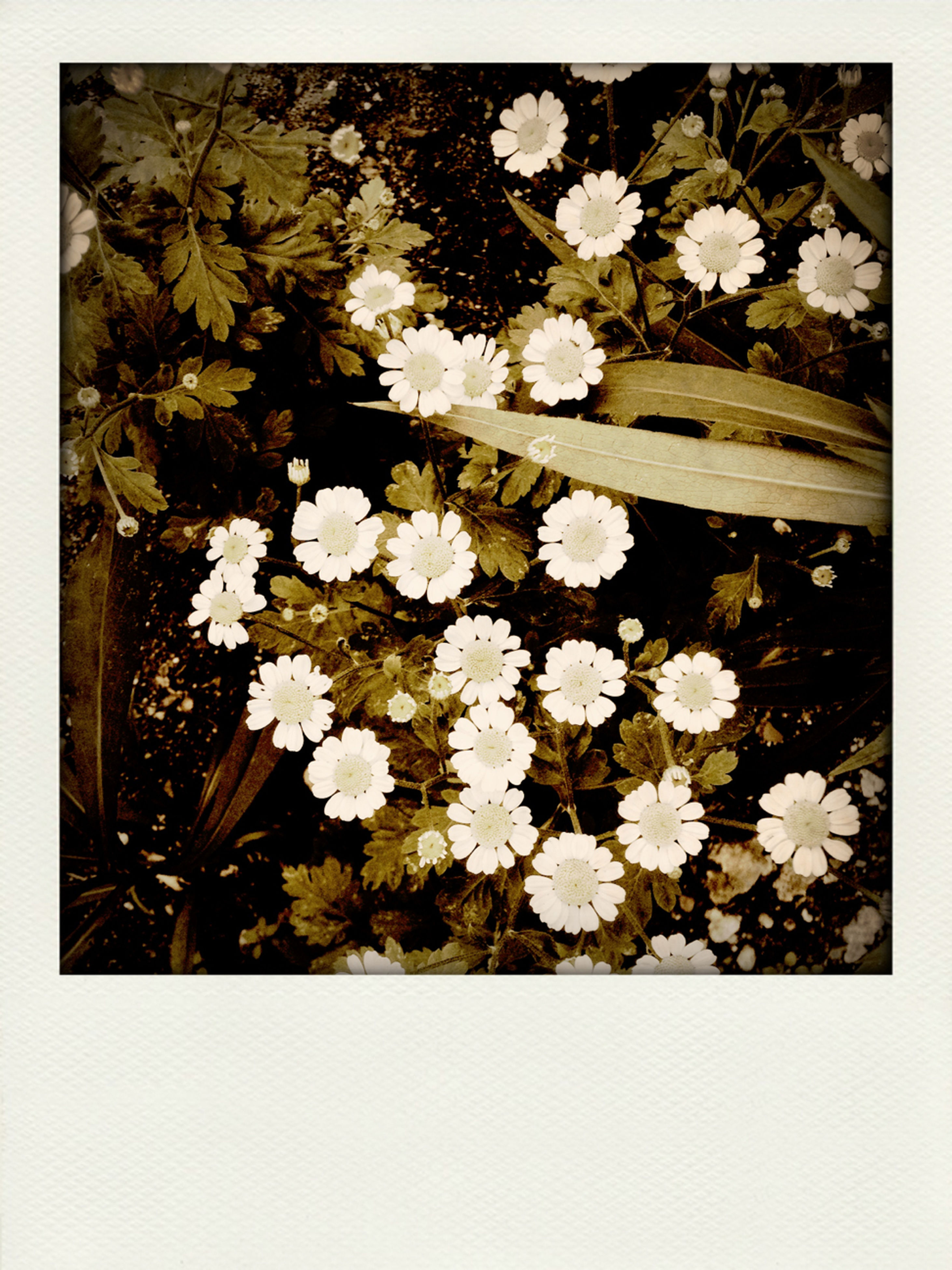 transfer print, flower, leaf, auto post production filter, white color, fragility, growth, nature, season, high angle view, beauty in nature, close-up, petal, plant, white, day, freshness, outdoors, no people, blossom