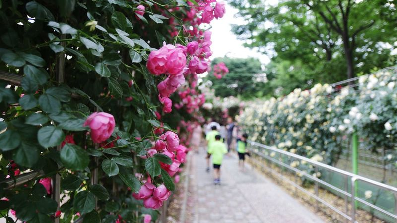 Tree Flower Nature Growth Pink Color Beauty In Nature Walking Day Outdoors Plant Adult People Branch Fragility Real People Sky Rosé Rose Garden Rose Pink Korea The Week On EyeEm EyeEmNewHere