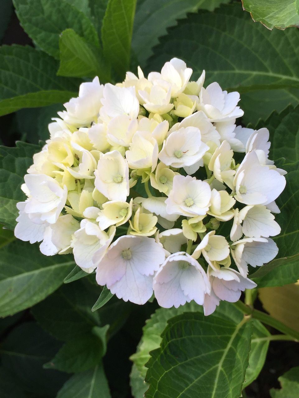 flower, petal, beauty in nature, nature, plant, growth, fragility, leaf, white color, freshness, blooming, close-up, no people, flower head, hydrangea, day, outdoors