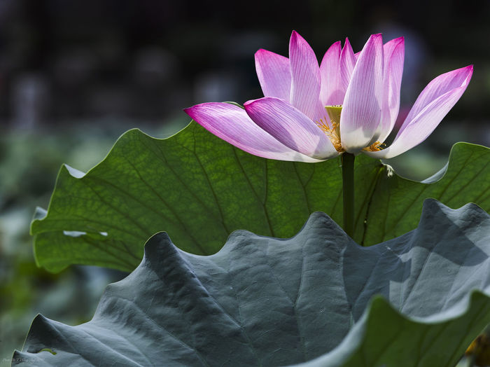 Lotus Flower Nature Plant Background Defocus Beauty In Nature Bloom Blooming Blurred Background Close-up Flower Head Fragility Green Leaf Lotus Water Lily No People Non-urban Scene Pink And Green Pink Flower
