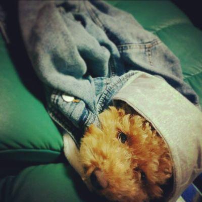 似合ってるわその服? マリオ 犬 癒し 可愛い テス勉進まんてるてる坊主っぽいシュナプー