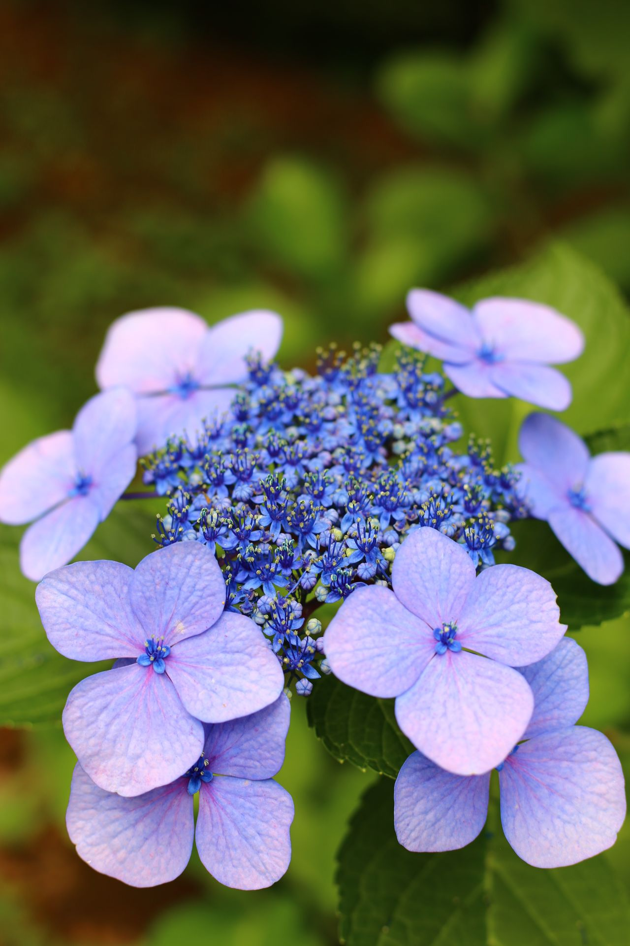 2015  Beauty In Nature Flower Flower Head Fragility Growth Hydrangea Imperial Palace Japan Nature Outdoors Park Petal Plant Purple Tokyo 紫陽花 花