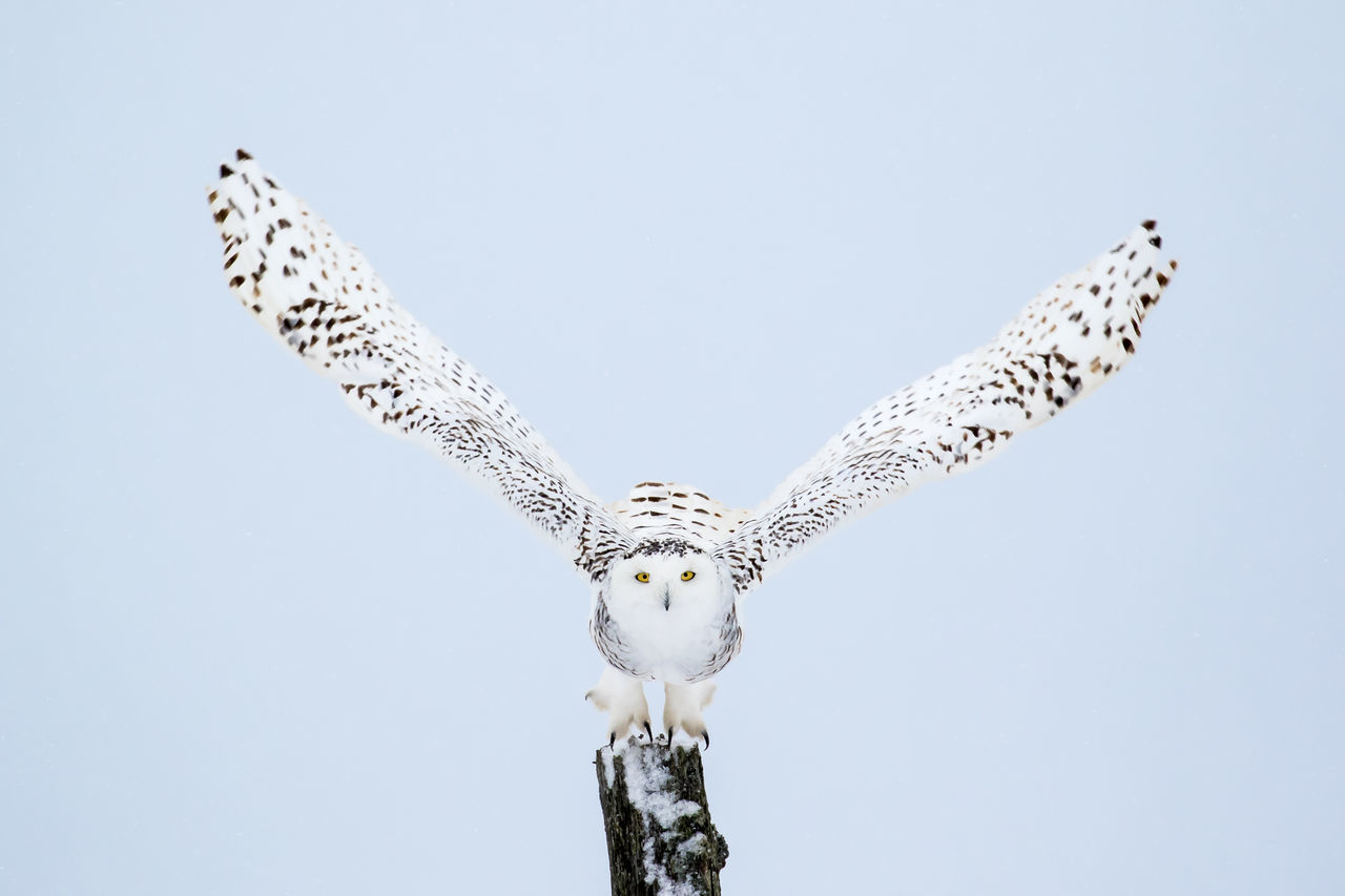 Snowy Owl, Bubo Scandiacus, flying from a post with direct eye contact. Animal Themes Animal Wildlife Animals In The Wild Beauty In Nature Bird Bird Of Prey Bubo Scandiacus Clear Sky Close-up Day Flying Low Angle View Nature No People One Animal Outdoors Owl Sky Snowy Owl Spread Wings