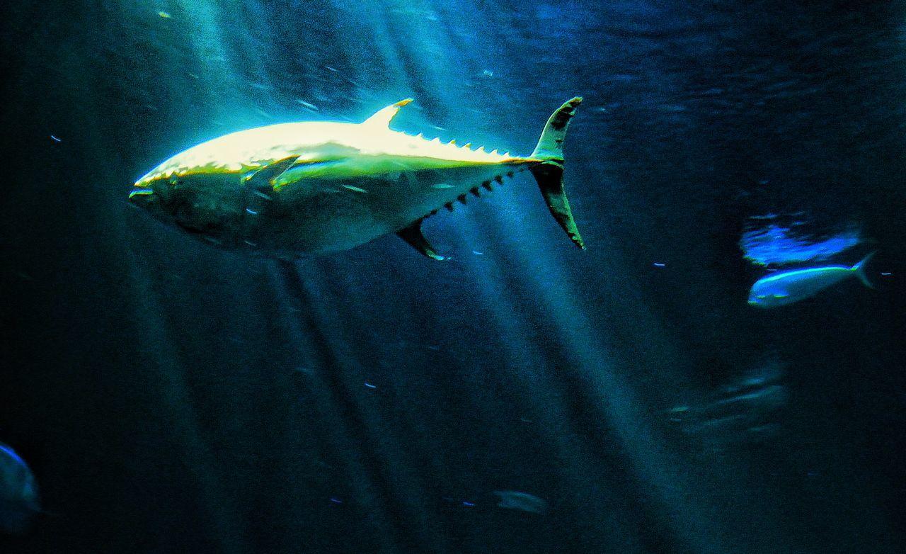 Tuna Eye4photography  EyeEm Nature Lover EyeEm Monterey Bay Aquarium Mani Mahi Dolphin Fish