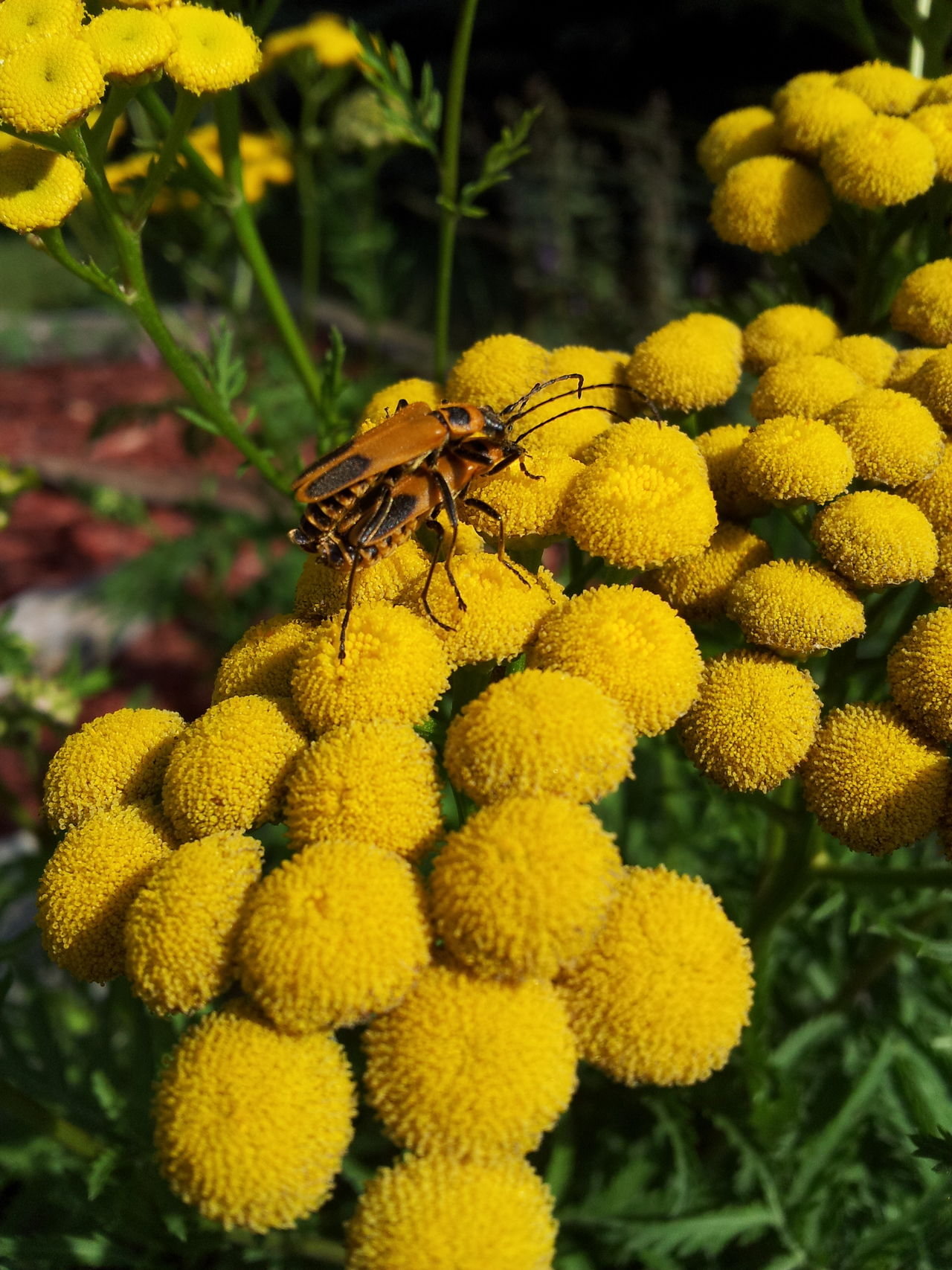 Yellow flower heads with two bugs Bugs Bugs Life Love Bugs Bugs! Taking Photos Taking Pictures Nature Flower Head Beautiful Nature Beauty In Nature Nature_collection Flowers_collection Flowers,Plants & Garden Flowers, Nature And Beauty Flower Photography Close Up Closeup Close-up Bug Bugslife Macro_flower Nature On Your Doorstep Nature Photography Yellow Flower Yellow
