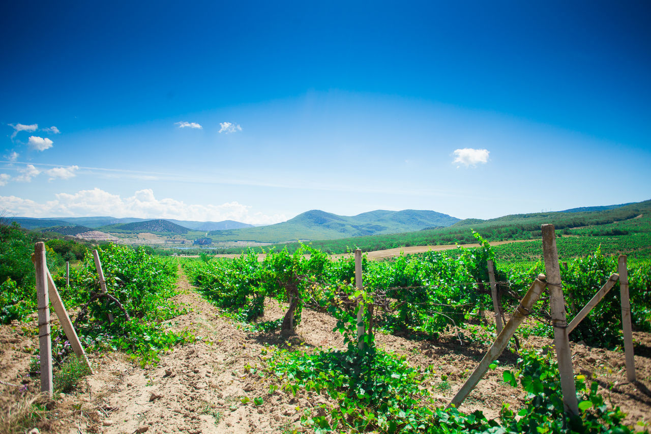 agriculture, landscape, field, tranquil scene, rural scene, farm, scenics, vineyard, nature, beauty in nature, tranquility, outdoors, sky, no people, green color, day, blue, wooden post, growth, mountain, winemaking, plant