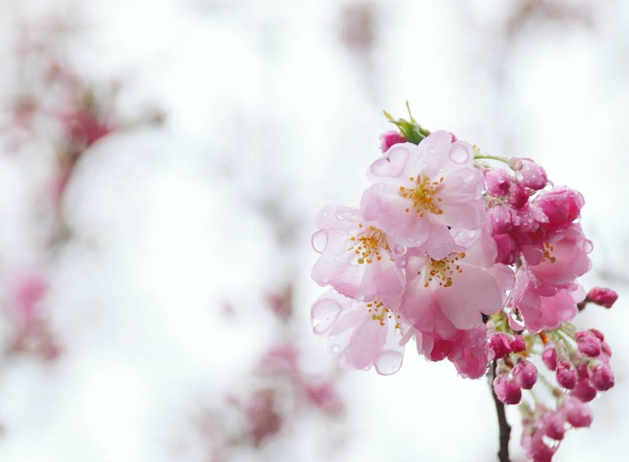 Flower Pink Color Nature Plant Close-up Tree Beauty In Nature Growth Blossom No People Fragility Branch Cherry Blossom Outdoors Flower Head Cherry Tree Freshness Day Heart ❤ Heartdrop カメラ女子 Japanese Girl ファインダー越しの私の世界 写真撮ってる人と繋がりたい カメラ好きな人と繋がりたい