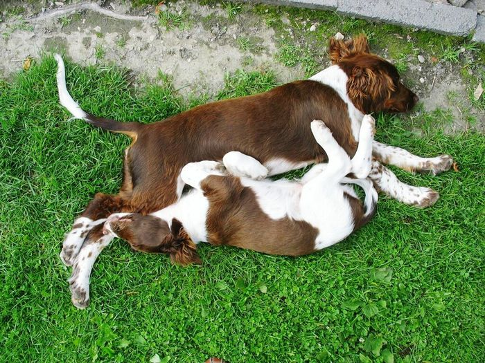They are cousin. Animal Themes Mammal Domestic Animals Grass Pets Dog High Angle View Field No People Green Color Outdoors Day Nature 2 Dogs Puppy Love Anilal Friendship Puppylife Lying Down Lying Down In Grass. Friends Friendship Top View Springer Spaniel White And Brown