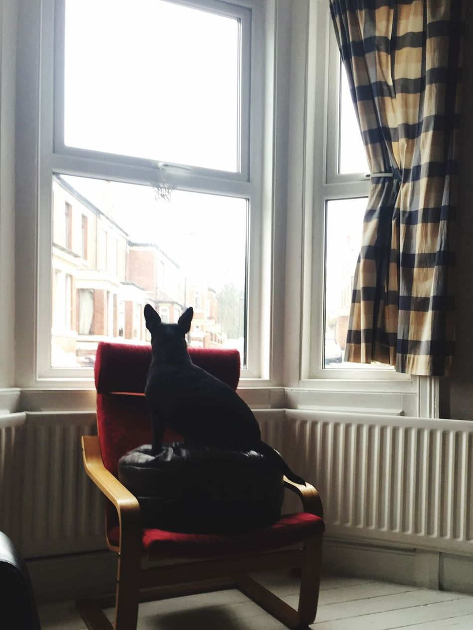 On Patrol En Garde Guard Dog Small Dog Big Attitude Keeping Watch At Home Sick Bay Window