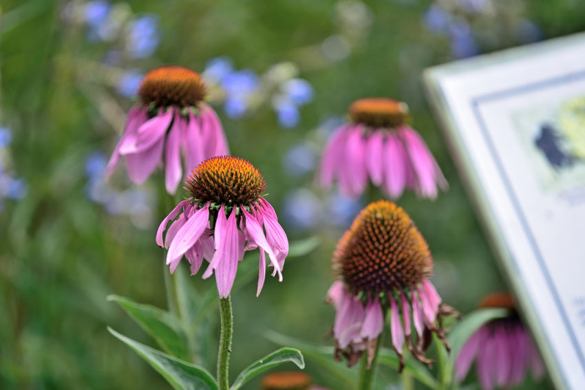 Late Summer At Merritt Gardens 8 Oakland, Ca. The Gardens At Lake Merritt Lakeside Park Garden _collection Garden_Photography Cone Flower Echinacea Angustifolia Asteraceae Blooms Flower Heads Petals Purple Freshness Late Summer -early Fall Flower_Collection Nature Beauty In Nature Nature_collection Botany Botanical Garden Horticulture Flowers Horticulture Botanical Garden Flower_lovers Information Sign