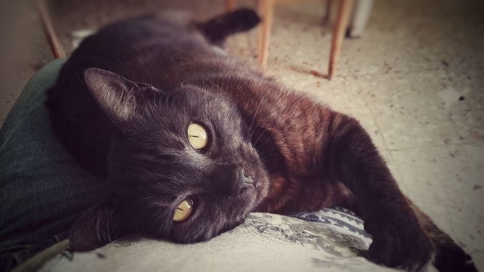 One Animal Animal Black Color Animal Themes Mammal No People Pets Portrait Domestic Animals Close-up Domestic Cat Indoors  Looking At Camera Feline Day Nature Cats 🐱 Cat Lovers BLackCat Huawei p8