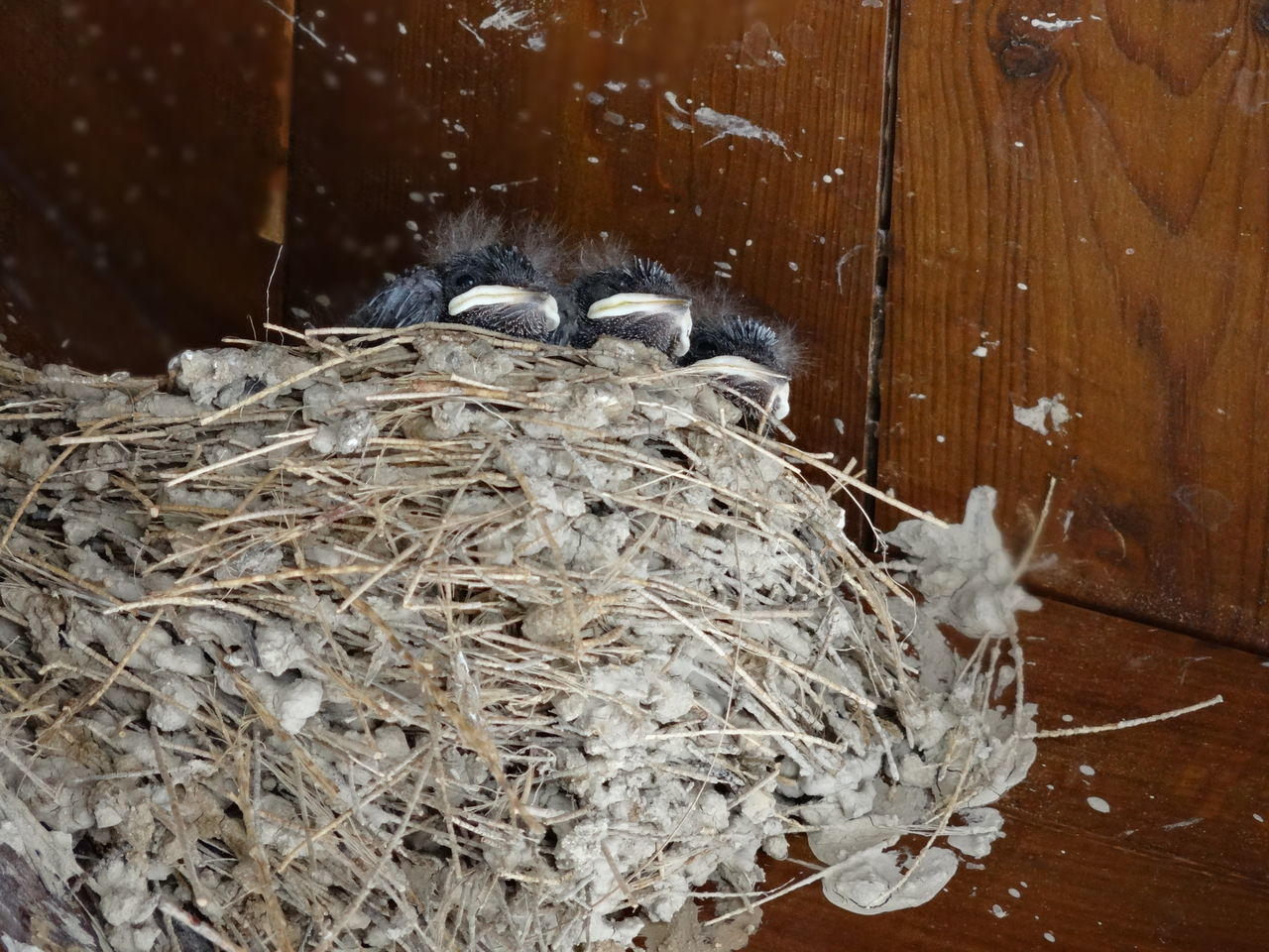 animal themes, hay, wood - material, no people, domestic animals, mammal, one animal, indoors, close-up, straw, day, bird nest, nature