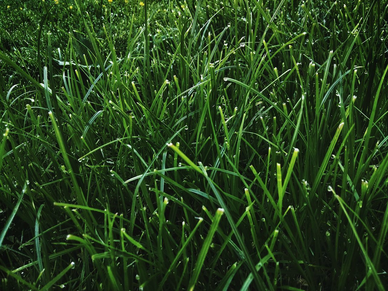 Tautropfen Growth Green Color Gras  Nature Field Grass Backgrounds Full Frame Agriculture Crop  Cereal Plant No People Beauty In Nature Day Plant Outdoors Rural Scene Close-up Freshness Schnittgut Gewachsen