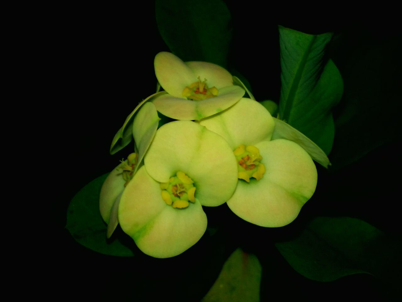 flower, petal, beauty in nature, nature, freshness, growth, fragility, black background, green color, plant, no people, close-up, leaf, yellow, flower head, studio shot, outdoors, day
