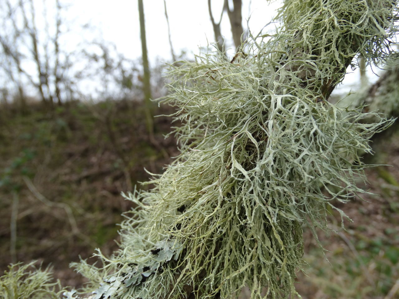 Close-up Focus On Foreground Green Color Growth Lichen Macro Moss Nature Plant