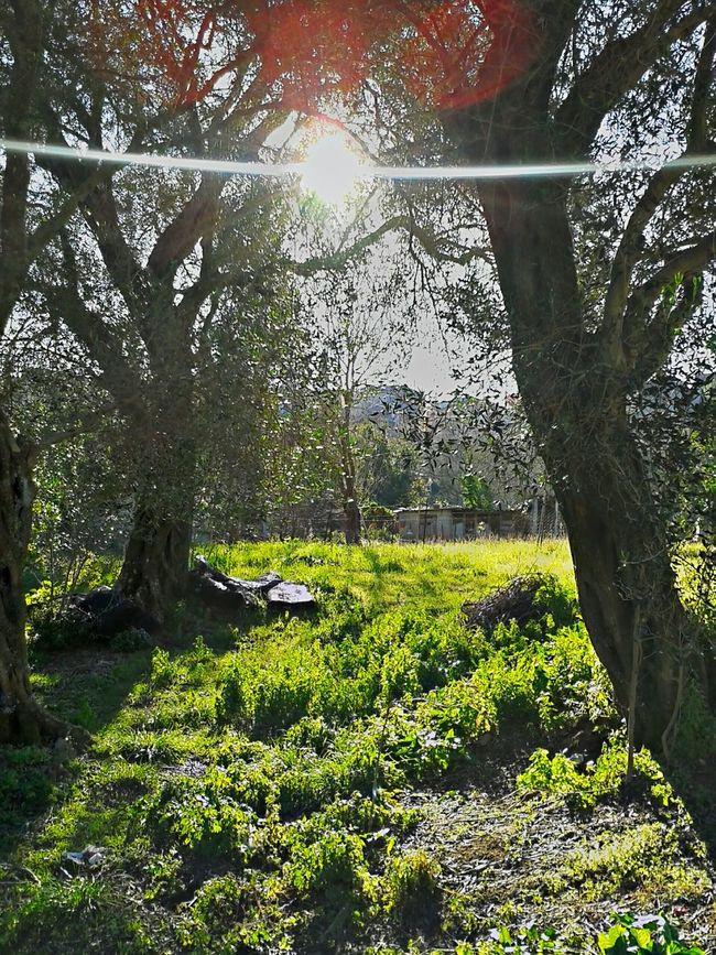 Wether Skies Olivetree Sunrise