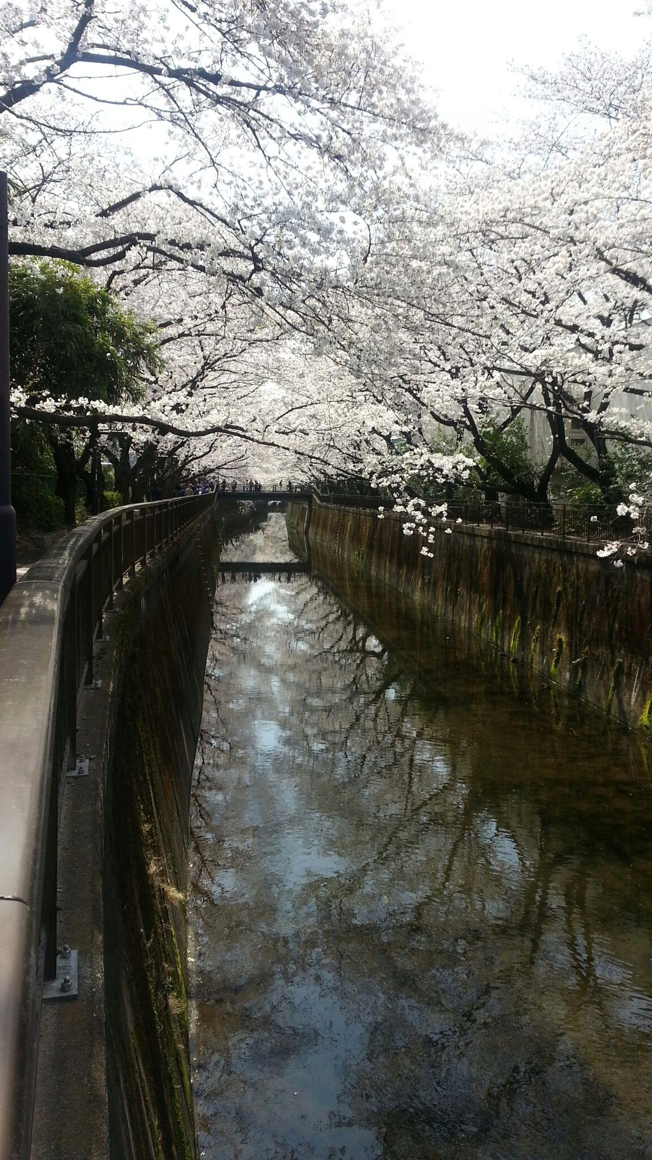仙川☆満開♡ View