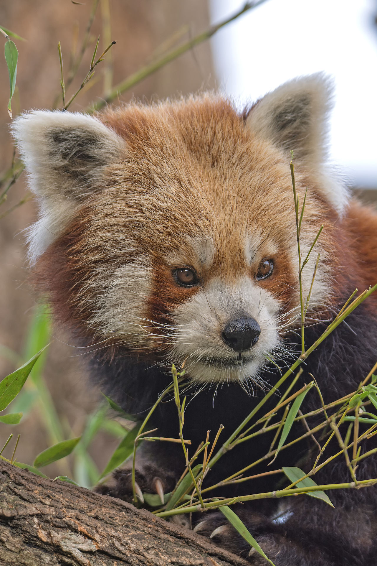 Animal Themes Animal Wildlife Animals In The Wild Close-up Day Looking At Camera Mammal Nature No People One Animal Outdoors Portrait Red Panda Tree